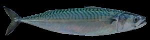 4-Mackerel (Scomber Scombrus)