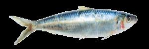 5.5 Sardinella Aurita