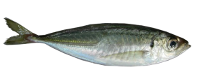 7-Horse Mackerel