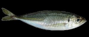 7-Horse Mackerel